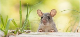 Preventive Measures to Keep Rodents Away